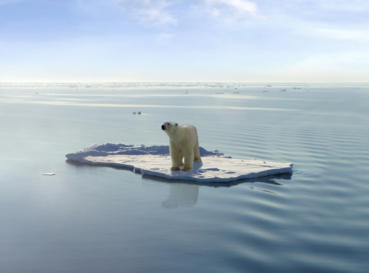 polar bears global warming extinction melting ice climate change 2080 2100