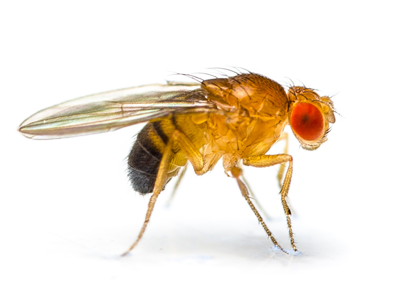 fruit fly lifespan healthy fruit salads