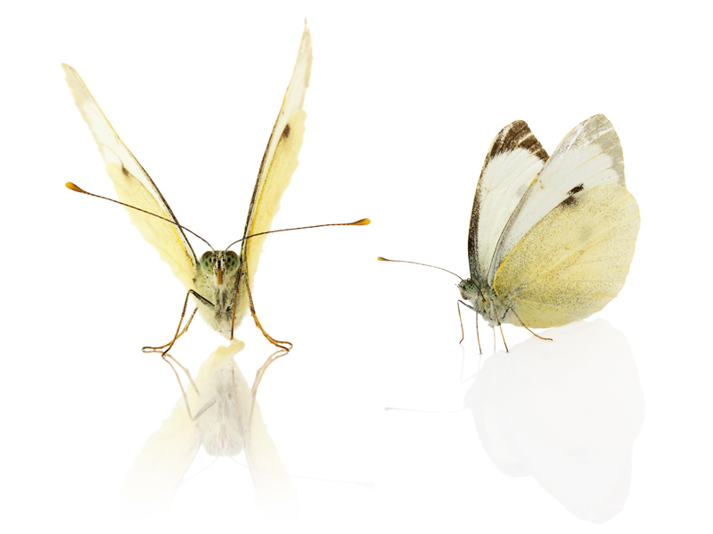 160-cabbage-white-butterfly-solar-power-future-energy