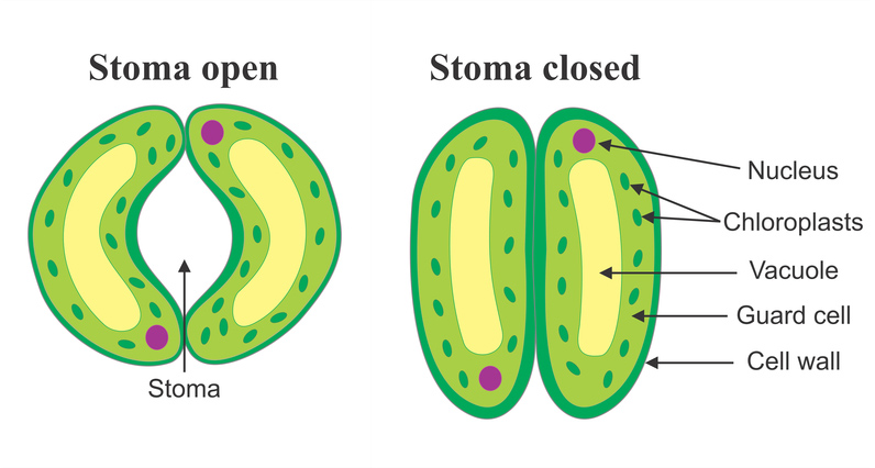 stomta essay Transpiration: transpiration is a physiological phenomenon in which water is lost from certain surfaces of the plant body in the form of water vapors.