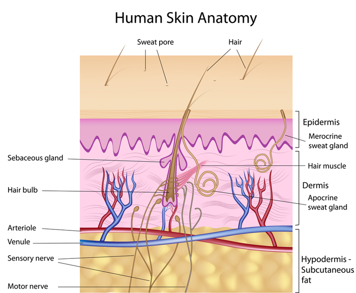 Nerve Skin Diagram Search For Wiring Diagrams