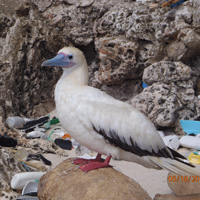 plastic in seabirds 2050